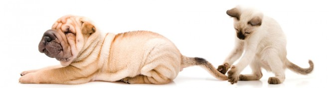 Shar-pei puppy and siamese kitten playing