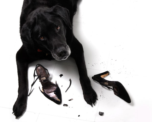 black lab chewing black high heel shoe