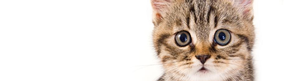 General Image - Kitten