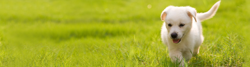 General Image - Puppy Yellow Lab in Field Left