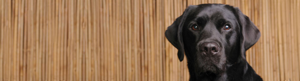 General Image - Black Lab Left